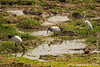Sacred Ibis and Great Egret