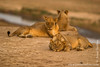 Lions Relaxing at the Bank of Luangwa River