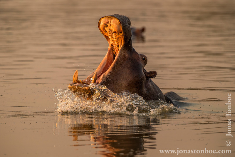 Hippopotamus aka Hippo Yawning in Luangwa River at Sunset