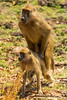 Yellow Baboon Mating