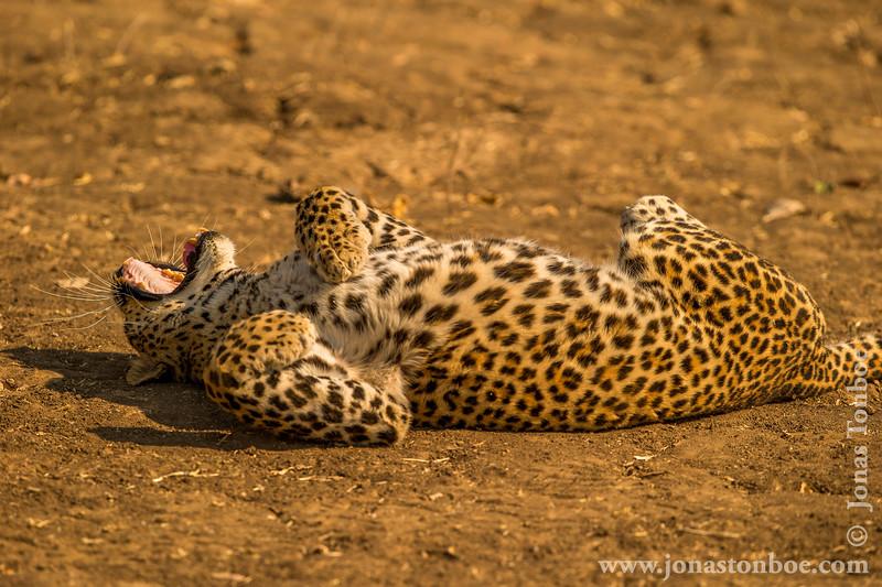 Leopard Yawning