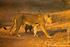 Female Lion and Cub