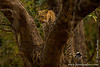 Female Leopard in a Tree
