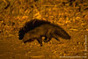 Bushy-tailed Mongoose