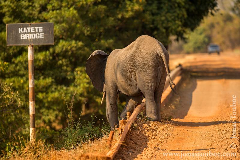 African Bush Elephant Crossing Katete Bridge