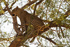 Male Leopard in a Tree