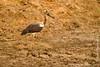 Juvenile Saddle-billed Stork