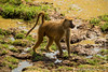 Male Yellow Baboon