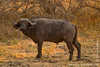 Cape Buffalo aka Southern Savanna Buffalo