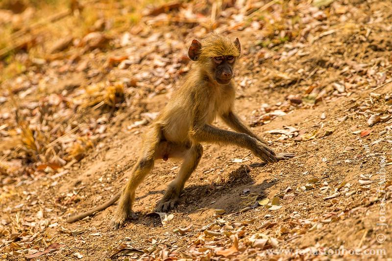 Juvenile Yellow Baboon