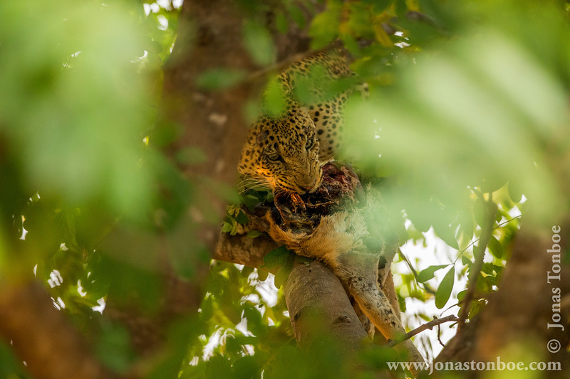Male Leopard in a Tree Eating an Antelope