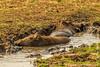 Common Warthog Taking a Mud Bath