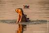 Hippopotamus aka Hippo Yawning in Luangwa River at Sunset