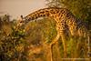 Thornicroft's Giraffe aka Luangwa Giraffe aka Rhodesian Giraffe