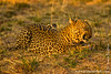 Leopard Flehmen Response