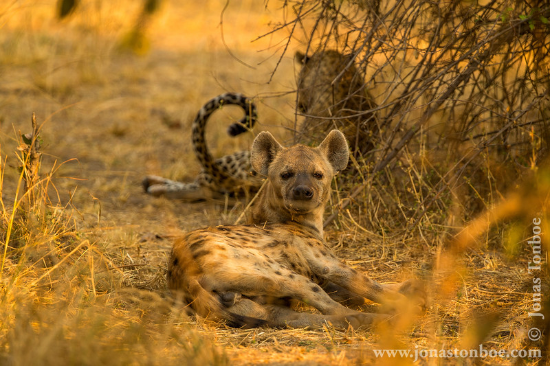 Male Leopard and Spotted Hyena