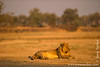 Sub-adult Male Lion Relaxing at the Bank of Luangwa River
