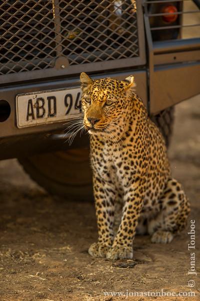 Leopard by Safari Vehicle