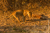Female Lion at Hyena Kill