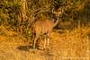 Female Greater Kudu