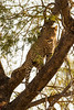 Male Leopard With His Kill in a Tree