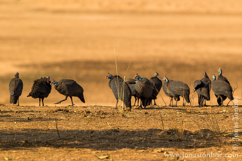 Helmeted Guineafowl at the Bank of Luangwa River