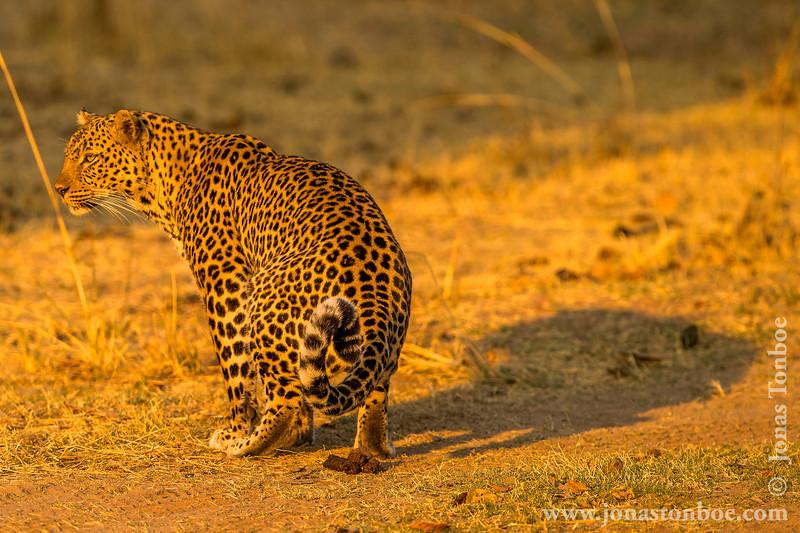 Leopard Pooping