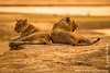 Sub-adult Female and Male Lion Relaxing at the Bank of Luangwa River