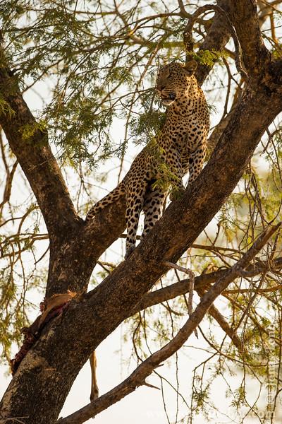 Male Leopard in a Tree