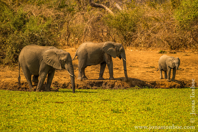 African Bush Elephant Drinking From a Waterhole