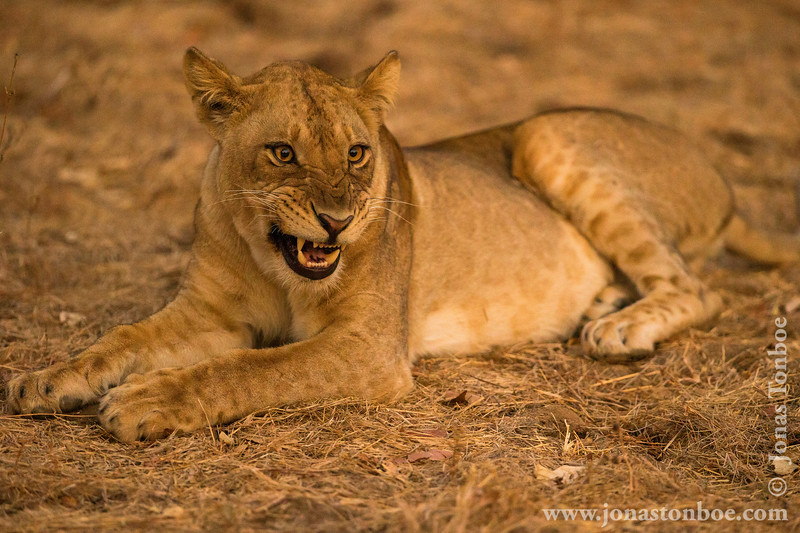 Female Lion Yawning