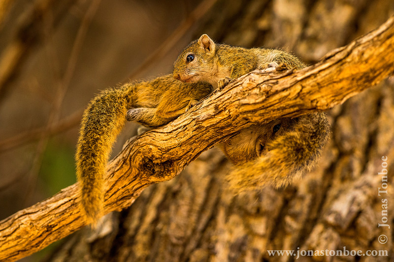 Male and Female Tree Squirrel