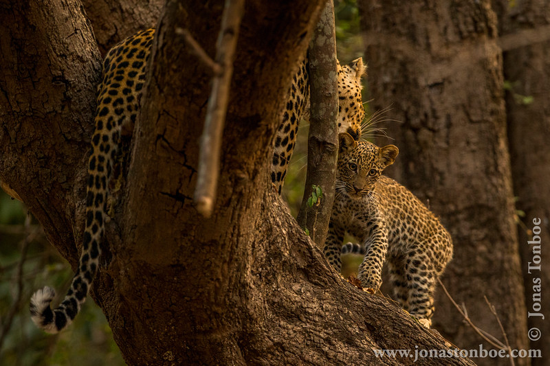 Female Leopard and Cub in a Tree