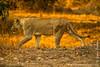 Sub-adult Male Lion