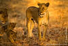Female Lion and Cubs