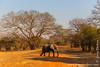 African Bush Elephant Crossing the Road