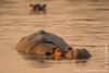Hippopotamus aka Hippo in Luangwa River at Sunset