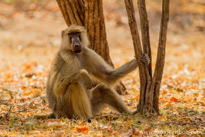 Male Yellow Baboon