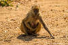 Female Yellow Baboon With a Suckling Baby