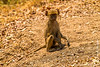 Juvenile Yellow Baboon