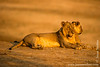Sub-adult Male and Female Lion Relaxing at the Bank of Luangwa River