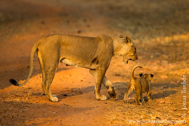Female Lion and Cub