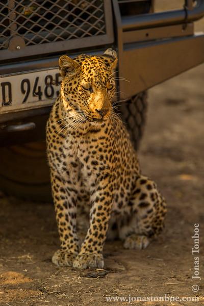 Leopard Seeking Shade Under Safari Vehicle