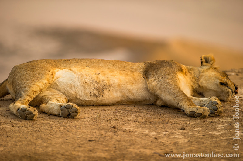 Lion  Relaxing at the Bank of Luangwa River