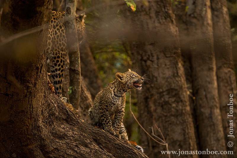 Leopard Cub In a Tree Looking at Noisy Birds