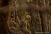 Leopard Cub In a Tree Looking at Noisy Birds