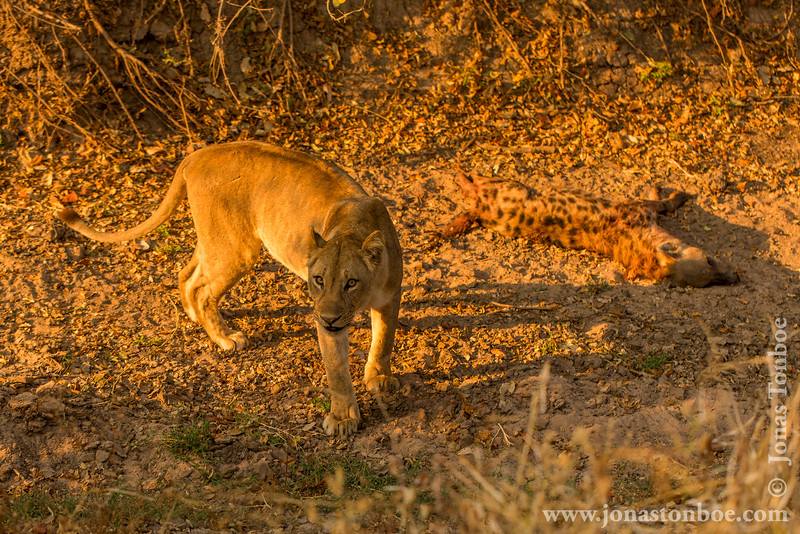 Female Lion at Hyena Kill