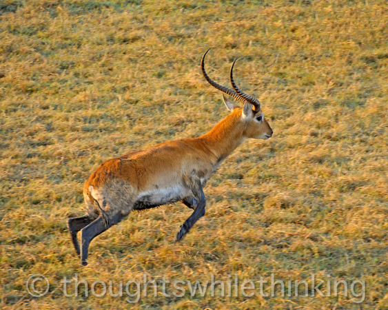 Male Red lechwe, somewhat muddy.