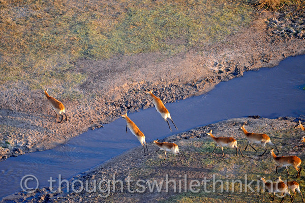 Female red lechwe airborne over a creek.