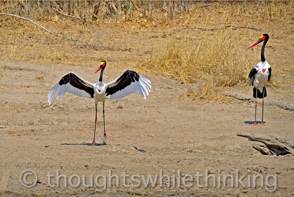 Saddle-billed storks.